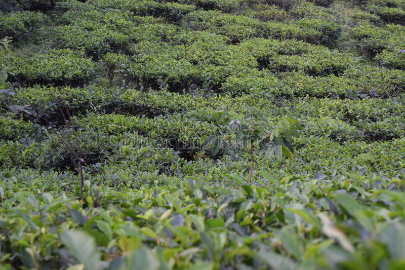 Κήπος τσαγιού Odulia Fatickchri, Najirhat, Τσιταγκόνγκ, Μπανγκλαντές στοκ φωτογραφία