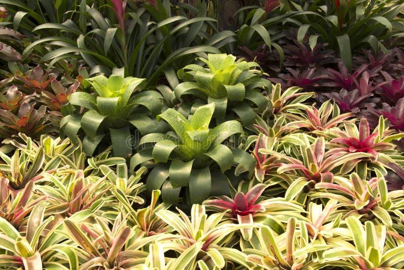 Κήπος bromeliads στοκ φωτογραφίες με δικαίωμα ελεύθερης χρήσης