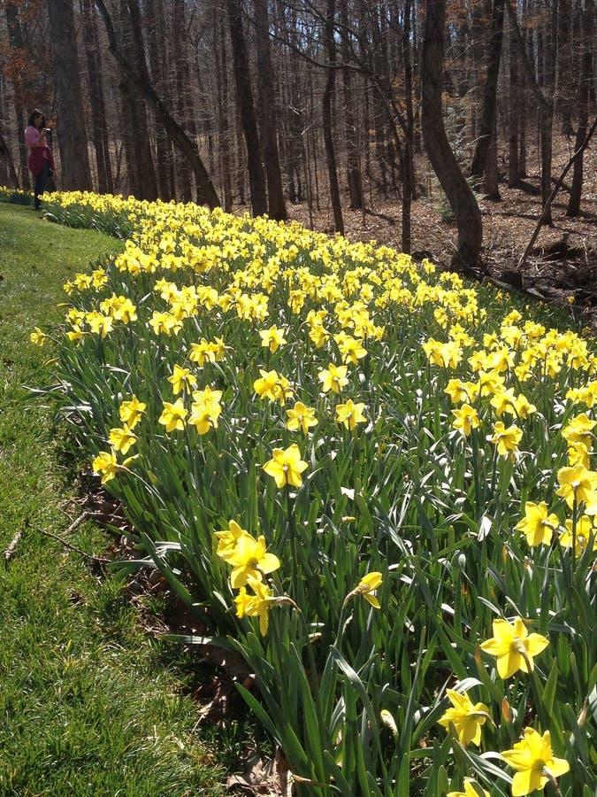 Κήπος Daffodil στοκ εικόνα