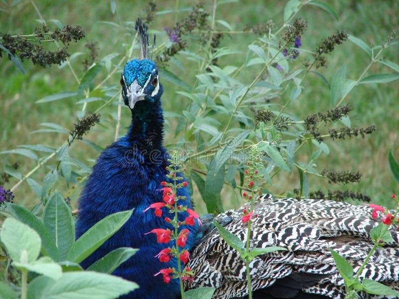 κήπος peacock στοκ φωτογραφία με δικαίωμα ελεύθερης χρήσης