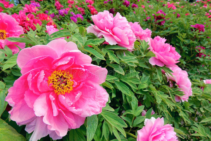 Κήπος Peony στοκ εικόνα με δικαίωμα ελεύθερης χρήσης