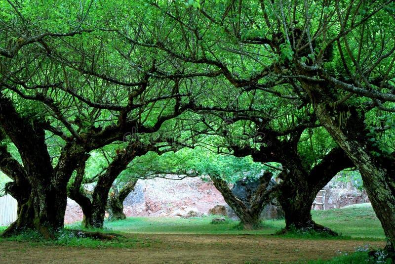 Κήπος Prunus mume στο βασιλικό γεωργικό σταθμό Angkhang, Chiang Mai στοκ φωτογραφία με δικαίωμα ελεύθερης χρήσης