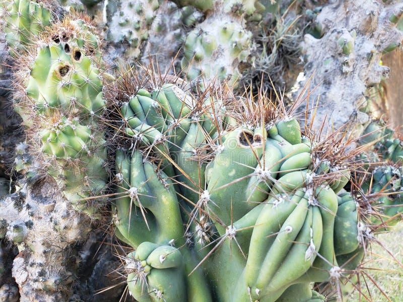 κήρινο peruvianus, εγκαταστάσεις κάκτων τεράτων σε έναν κήπο στοκ εικόνα