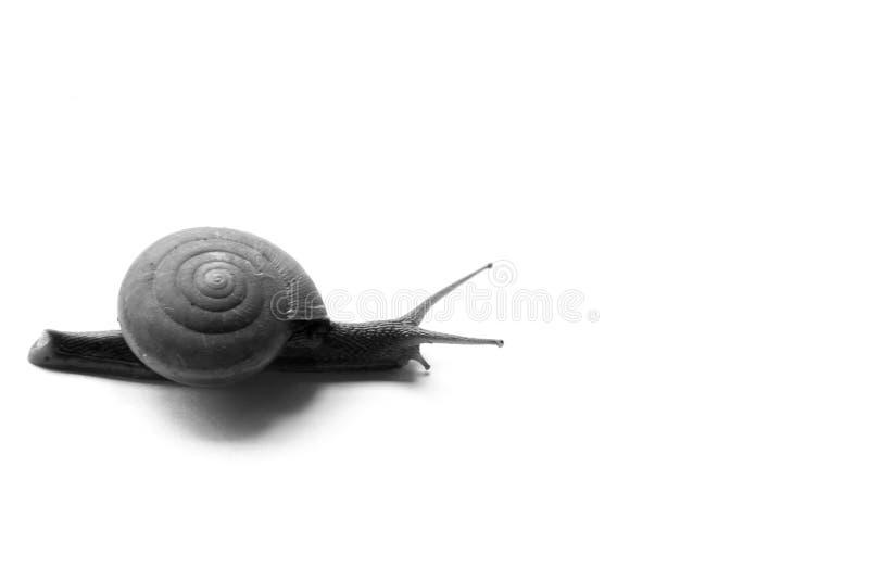 Κίνηση σαλιγκαριών αργά στο άσπρο υπόβαθρο στοκ φωτογραφία με δικαίωμα ελεύθερης χρήσης