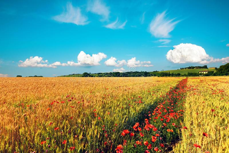 Κίνηση του όμορφου τοπίου άνοιξη με την πορεία των παπαρουνών σε έναν τομέα σίτου σε ένα κλίμα της νεφελώδους αφθονίας ουρανού, σ στοκ φωτογραφίες