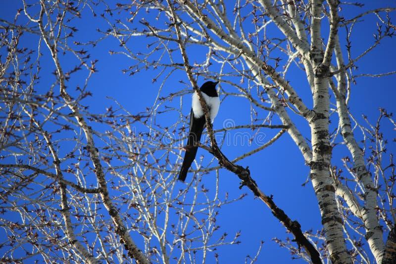 Κίσσα σε ένα δέντρο της Aspen στοκ φωτογραφία