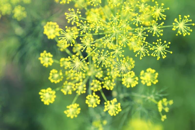 Κίτρινα άνθη του καρυκεύματος της ανάπτυξης μαράθου σε ένα κρεβάτι πράσινου στοκ φωτογραφία με δικαίωμα ελεύθερης χρήσης