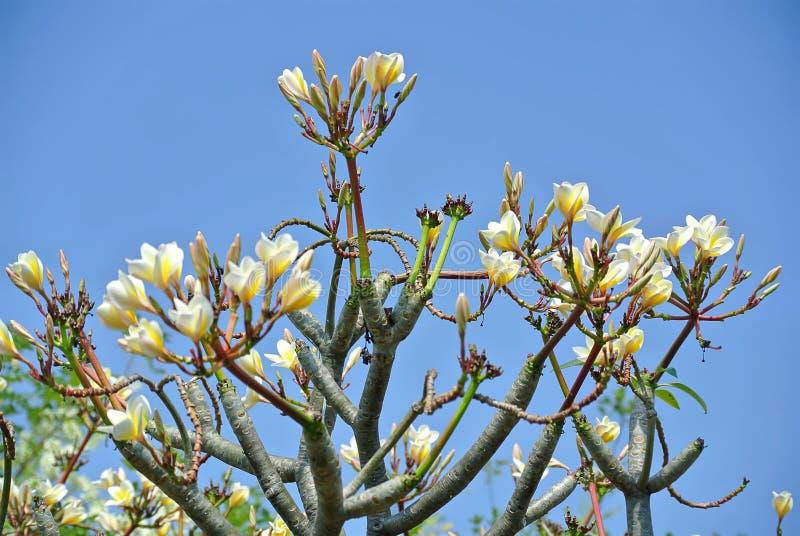 Κίτρινα άσπρα λουλούδια Plumeria ενάντια στο σαφή μπλε ουρανό στοκ φωτογραφία με δικαίωμα ελεύθερης χρήσης