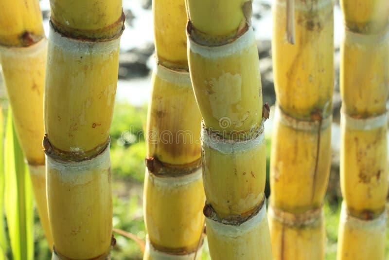 Κίτρινα δέντρα καλάμων ζάχαρης Φρέσκος κάλαμος ζάχαρης στην κινηματογράφηση σε πρώτο πλάνο τομέων στοκ φωτογραφίες με δικαίωμα ελεύθερης χρήσης