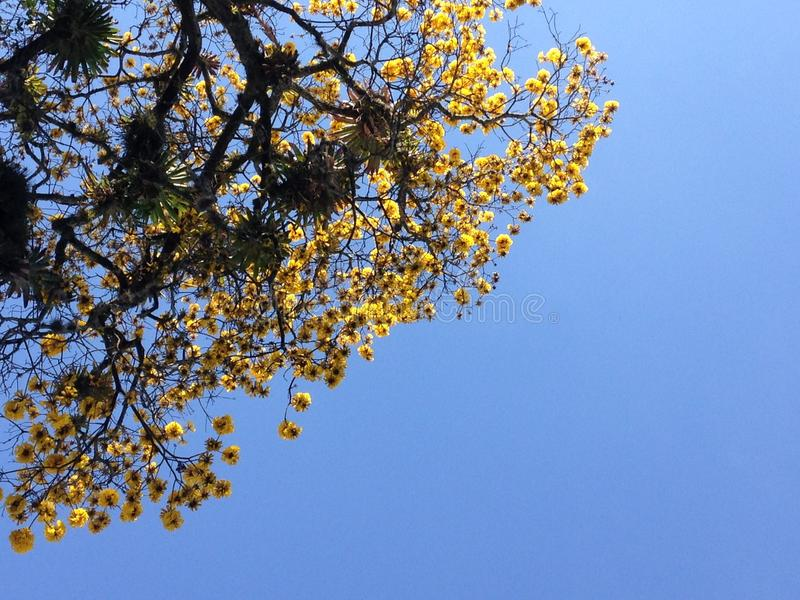 Κίτρινα ελατήριο/amarilla Primavera στοκ φωτογραφία
