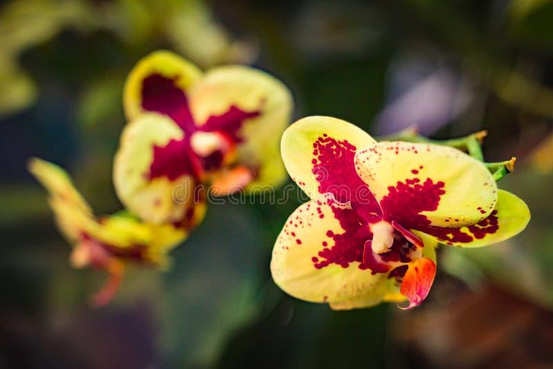 Κίτρινα και κόκκινα λουλούδια ορχιδεών σκώρων Phalaenopsis που ανθίζουν σε ένα θερμοκήπιο στοκ φωτογραφίες με δικαίωμα ελεύθερης χρήσης
