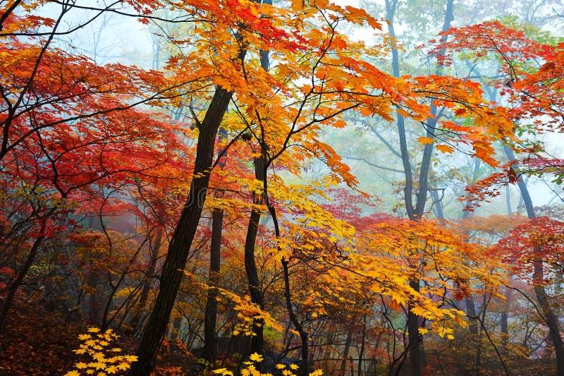 Κίτρινα και κόκκινα φύλλα στην υδρονέφωση στοκ εικόνα με δικαίωμα ελεύθερης χρήσης