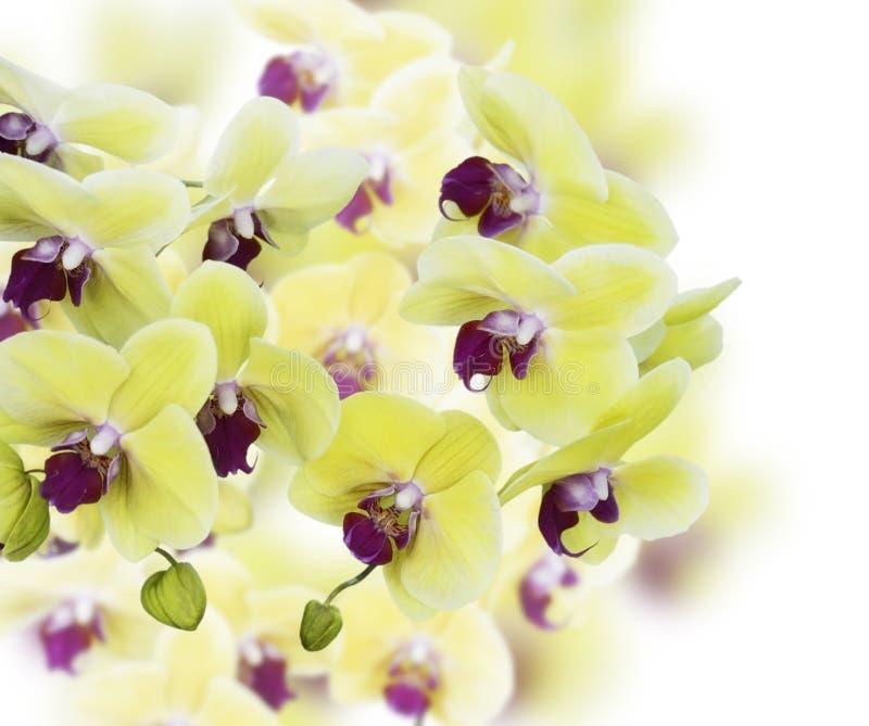 Κίτρινα και πορφυρά λουλούδια ορχιδεών στοκ φωτογραφία