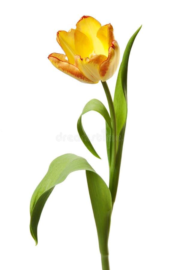 Κίτρινα κόκκινα λουλούδια τουλιπών τουλιπών στοκ φωτογραφία