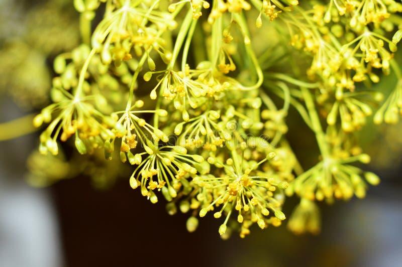 Κίτρινα λουλούδια άνηθου Μακρο φωτογραφία του μαράθου στοκ φωτογραφία με δικαίωμα ελεύθερης χρήσης