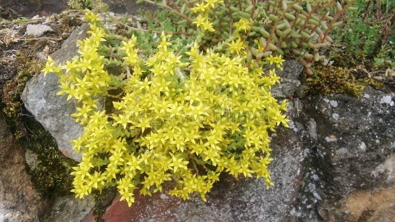 Κίτρινα λουλούδια άνοιξη στη Γερμανία στοκ εικόνες με δικαίωμα ελεύθερης χρήσης