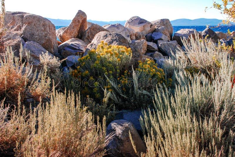 Κίτρινα λουλούδια αρτεμισιών από τη δύσκολη ακτή της λίμνης Tahoe, Calif στοκ φωτογραφία με δικαίωμα ελεύθερης χρήσης