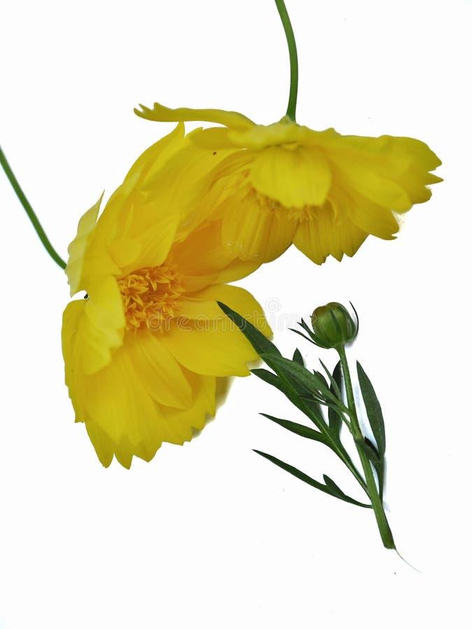 Κίτρινα λουλούδια κόσμου που απομονώνονται στο άσπρο υπόβαθρο στοκ εικόνες με δικαίωμα ελεύθερης χρήσης