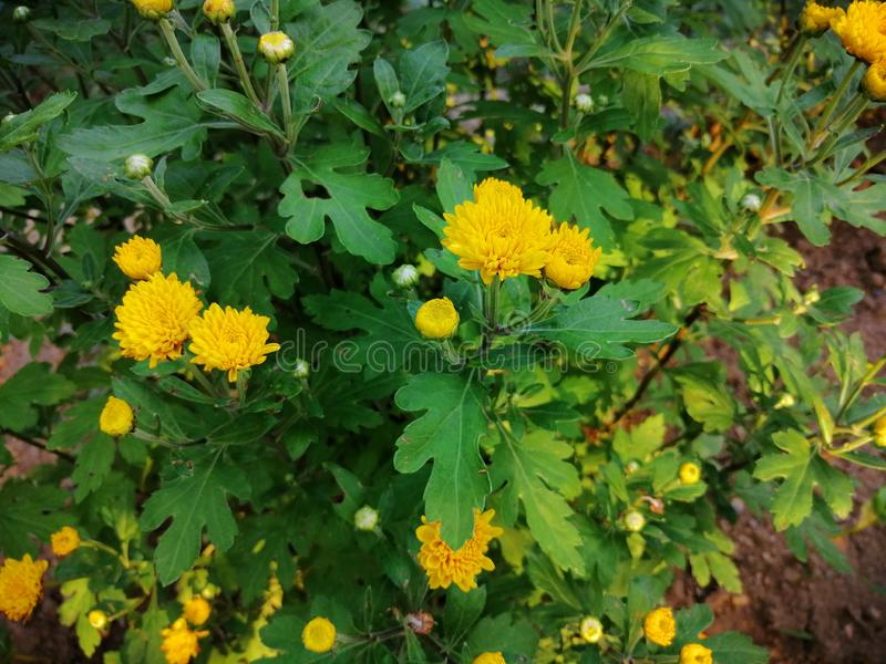 Κίτρινα λουλούδια στον κήπο στοκ φωτογραφία