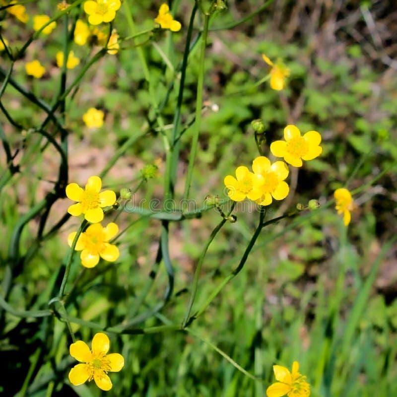 Κίτρινα λουλούδια στον τομέα στοκ φωτογραφία