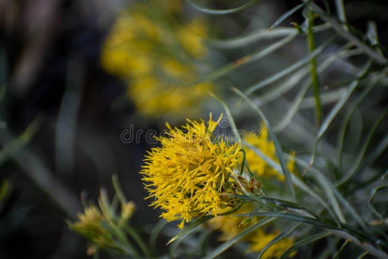 Κίτρινα λουλούδια στον τομέα στοκ εικόνες με δικαίωμα ελεύθερης χρήσης
