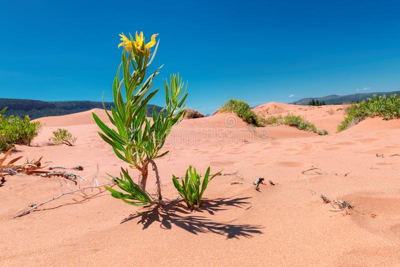 Κίτρινα λουλούδια στους αμμόλοφους άμμου στοκ εικόνα