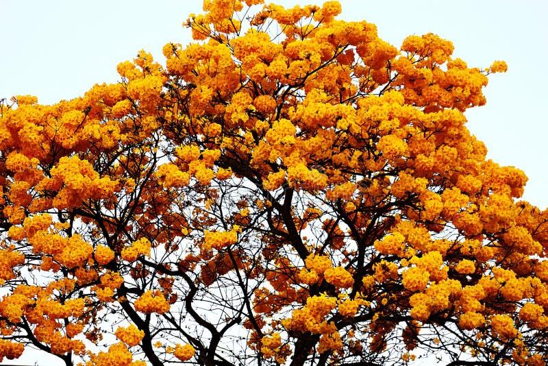 Κίτρινα λουλούδια του δέντρου Ipê στοκ φωτογραφίες με δικαίωμα ελεύθερης χρήσης