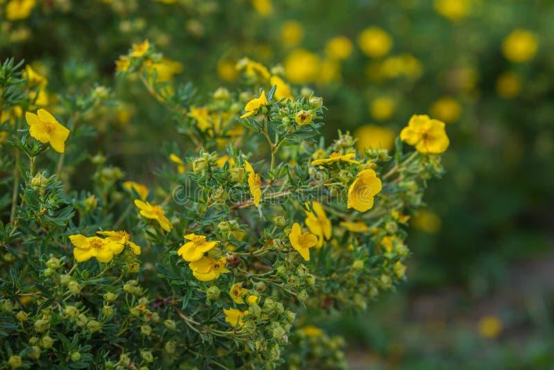Κίτρινα λουλούδια του fruticosa potentilla στοκ εικόνα με δικαίωμα ελεύθερης χρήσης