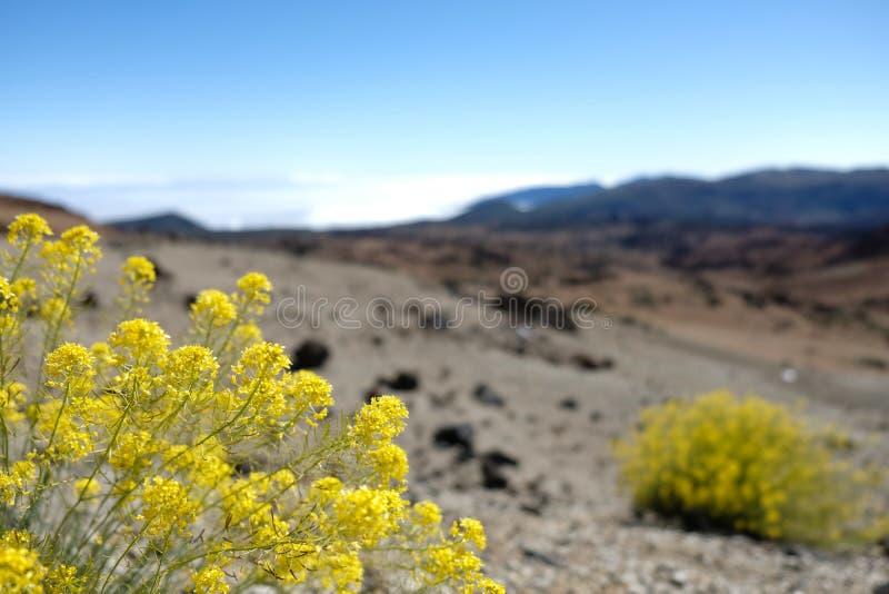 Κίτρινα λουλούδια υψηλών βουνών με το θολωμένο υψηλό βουνό στοκ εικόνες