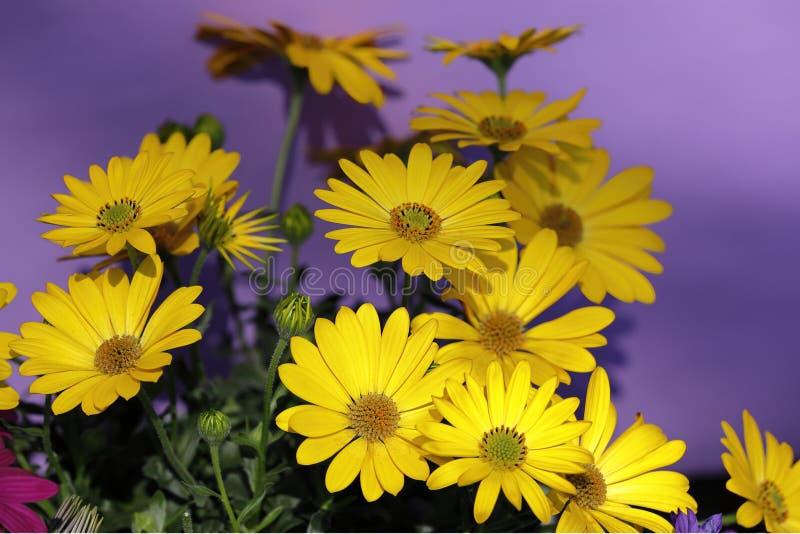 Κίτρινα λουλούδια gerbera σε ένα πορφυρό υπόβαθρο στοκ εικόνα με δικαίωμα ελεύθερης χρήσης