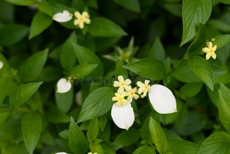 Κίτρινα λουλούδια mussaenda στοκ φωτογραφίες