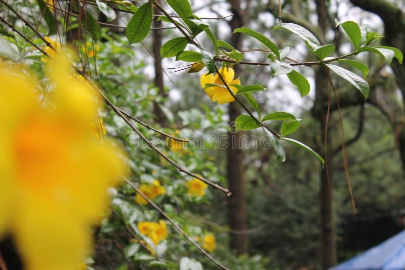 Κίτρινα λουλούδια Unfocoused στα ξύλα στοκ εικόνες