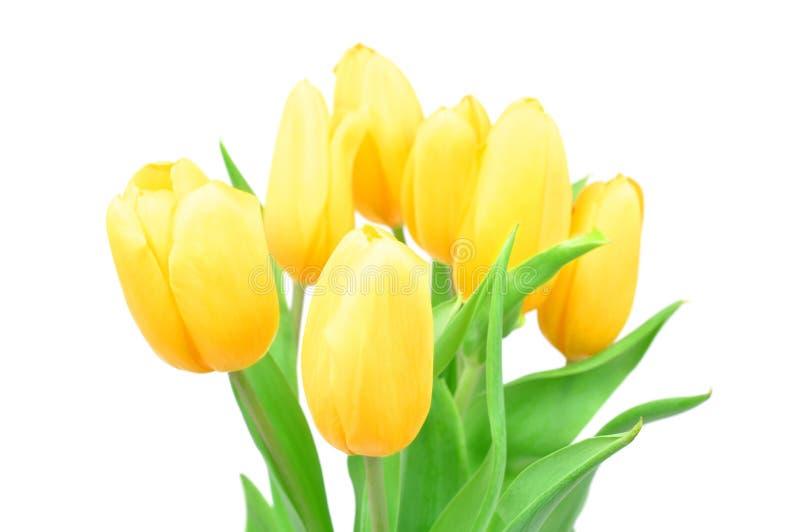 Κίτρινα λουλούδια ανοίξεων τουλιπών κινηματογραφήσεων σε πρώτο πλάνο που απομονώνονται στο άσπρο υπόβαθρο, λουλούδια ανοίξεων στοκ φωτογραφία με δικαίωμα ελεύθερης χρήσης