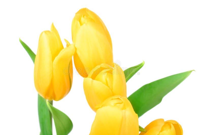 Κίτρινα λουλούδια ανοίξεων τουλιπών που απομονώνονται στο άσπρο υπόβαθρο στοκ φωτογραφίες με δικαίωμα ελεύθερης χρήσης
