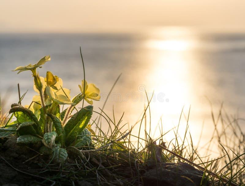 Κίτρινα λουλούδια και χρυσό ηλιοβασίλεμα στην ακτή της Σκωτίας στοκ φωτογραφίες