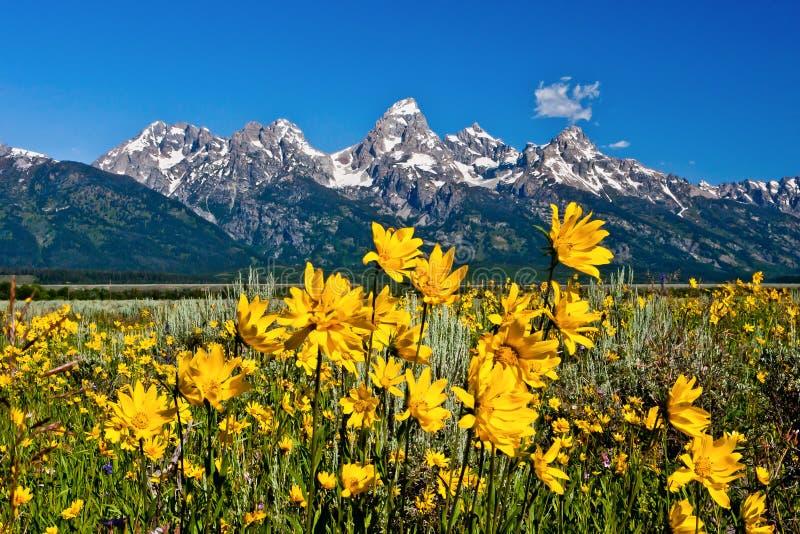 Κίτρινα λουλούδια και Tetons στοκ φωτογραφία με δικαίωμα ελεύθερης χρήσης