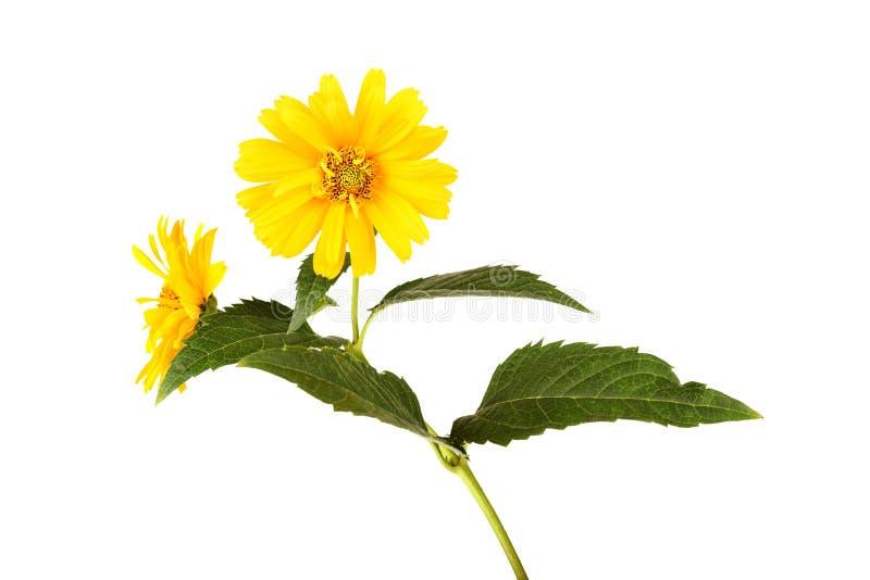 Κίτρινα λουλούδια μαργαριτών που απομονώνονται στο άσπρο υπόβαθρο στοκ εικόνες με δικαίωμα ελεύθερης χρήσης