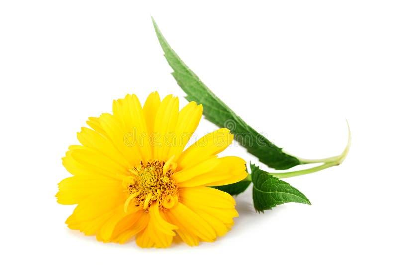 Κίτρινα λουλούδια μαργαριτών που απομονώνονται στο άσπρο υπόβαθρο στοκ εικόνα