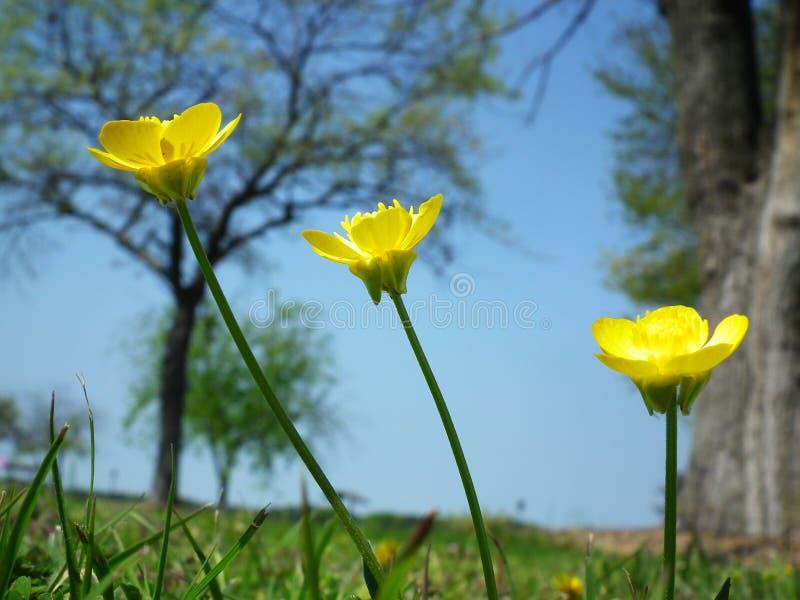 Κίτρινα λουλούδια νεραγκουλών στοκ εικόνα