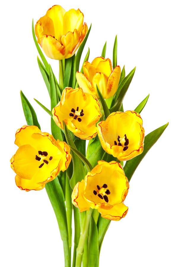 Κίτρινα λουλούδια τουλιπών ανθοδεσμών τουλιπών που απομονώνονται στοκ εικόνες