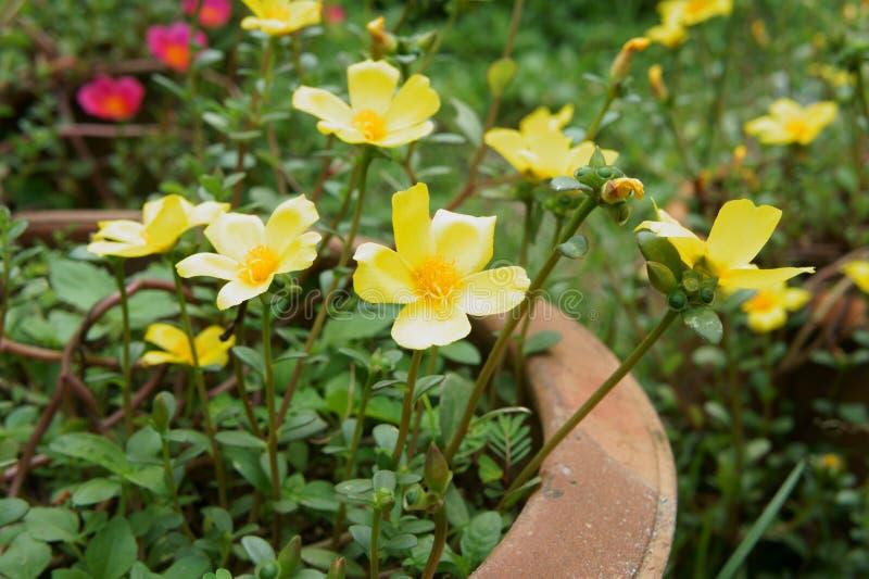 Download Κίτρινα λουλούδια στοκ εικόνες. εικόνα από brampton, άνοιξη - 62719850