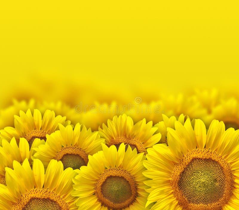 Κίτρινα πέταλα ηλίανθων στοκ φωτογραφίες