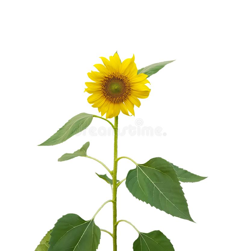 Κίτρινα πέταλα του ηλίανθου που ανθίζουν στο μίσχο και τα πράσινα φύλλα που απομονώνονται στο άσπρο υπόβαθρο, που τεμαχίζεται με  στοκ εικόνες