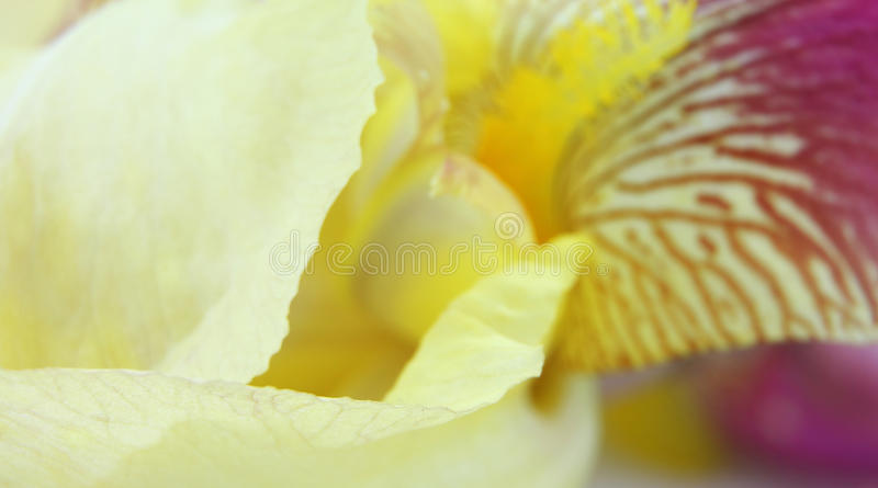 Κίτρινα πέταλα λουλουδιών ίριδων στοκ φωτογραφίες με δικαίωμα ελεύθερης χρήσης