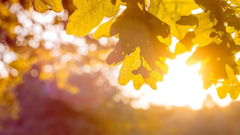 Κίτρινα δρύινα φύλλα δέντρων στο θερμό φως ήλιων Αναδρομικά φωτισμένες φλόγες μέσω του φυλλώματος στοκ εικόνα