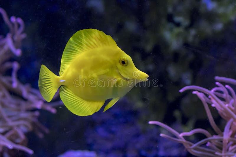 Κίτρινα τροπικά ψάρια του Tang στοκ εικόνα με δικαίωμα ελεύθερης χρήσης