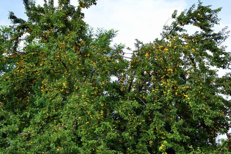 Κίτρινα φρούτα κορόμηλων δαμάσκηνων στο χρόνο συγκομιδών στοκ φωτογραφίες
