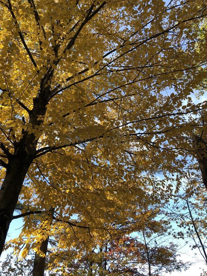 Κίτρινα φύλλα στοκ εικόνες