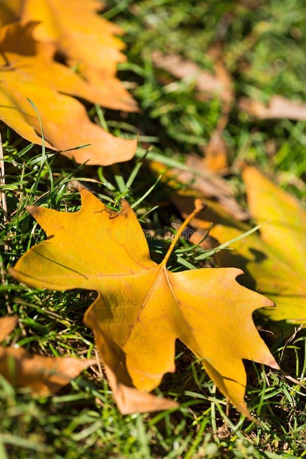 Κίτρινα φύλλα πλατανιών φθινοπώρου στο χορτοτάπητα στοκ εικόνες με δικαίωμα ελεύθερης χρήσης