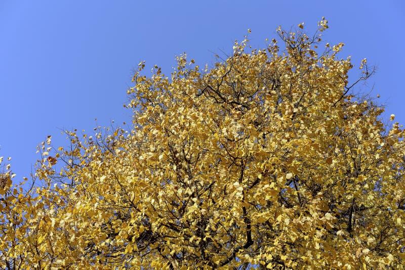 Κίτρινα φύλλα στα δέντρα σε ένα πάρκο πόλεων στοκ εικόνα